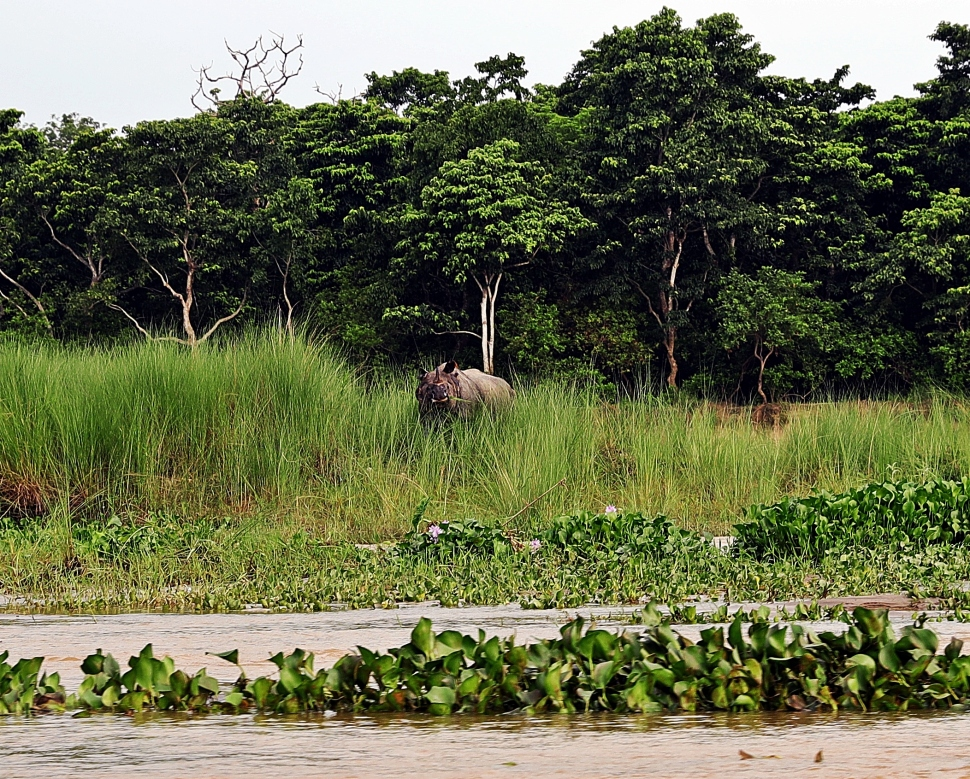One-horned rhino, Chitwan National Park