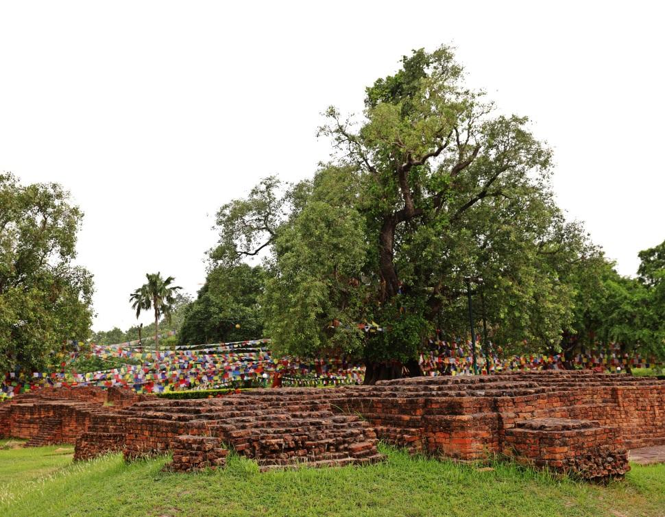Sacred bodhi tree, Lumbini