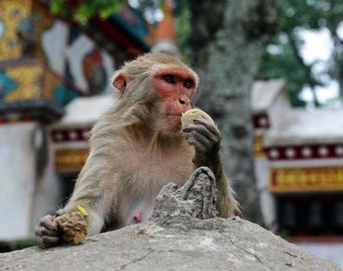 Rhesus Monkey on Swayambhunath kora