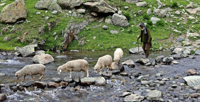 Rock-hopping sheep and their shepherd