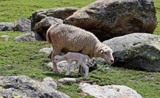 Few days old lamb