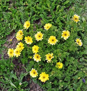 Alpine flowers, Great Lakes Trek, Kashmir