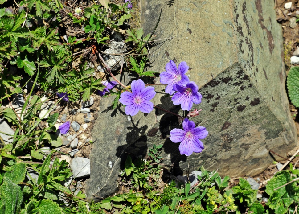 Alpine flowers, Great Lakes Trek, Kashmir