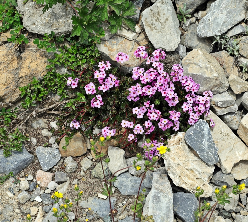 Alpine flowers, Great Lakes Trek