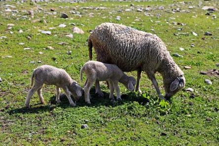 Twin lambs on the Great Lakes Trek