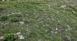 Alpine flowers on the Great Lakes Trek