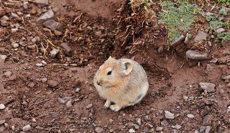 Pika on Markha Valley trek