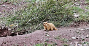 Marmot on the Markha Valley trek