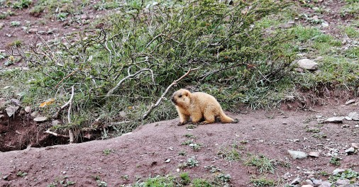 Marmot on the Markha Valley trek