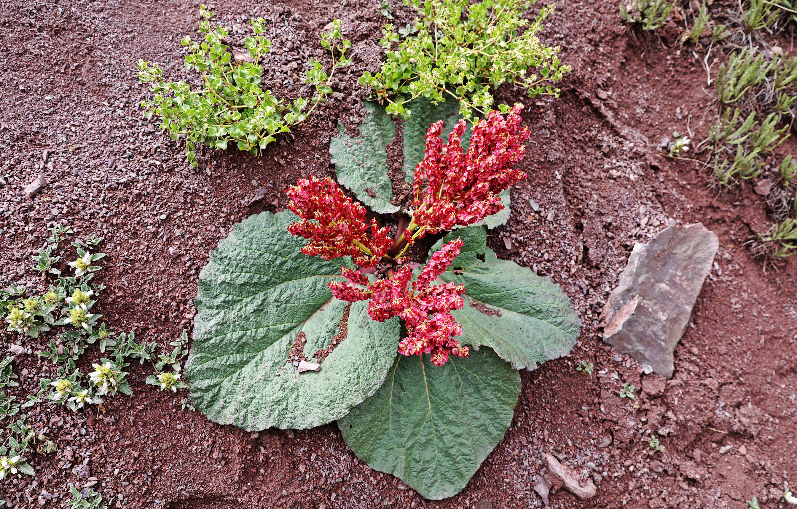 Alpine flower that looks like rhubarb, Markha Valley trek