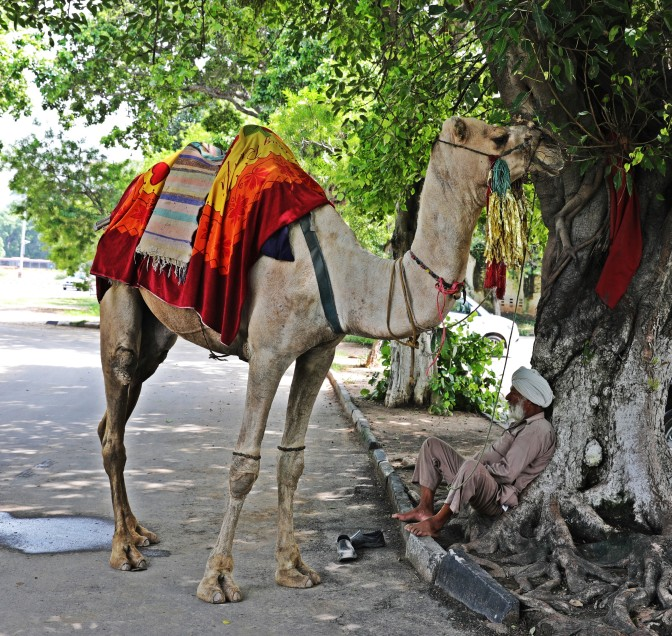Camel and his owner, Chandigarh