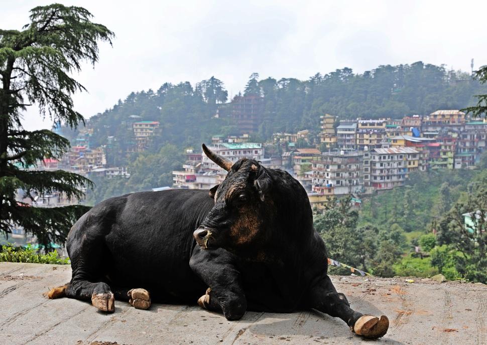 Bull on the roadside, McLeod Ganj in the background