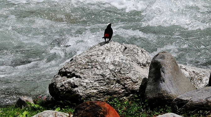 White-capped Water-Redstart