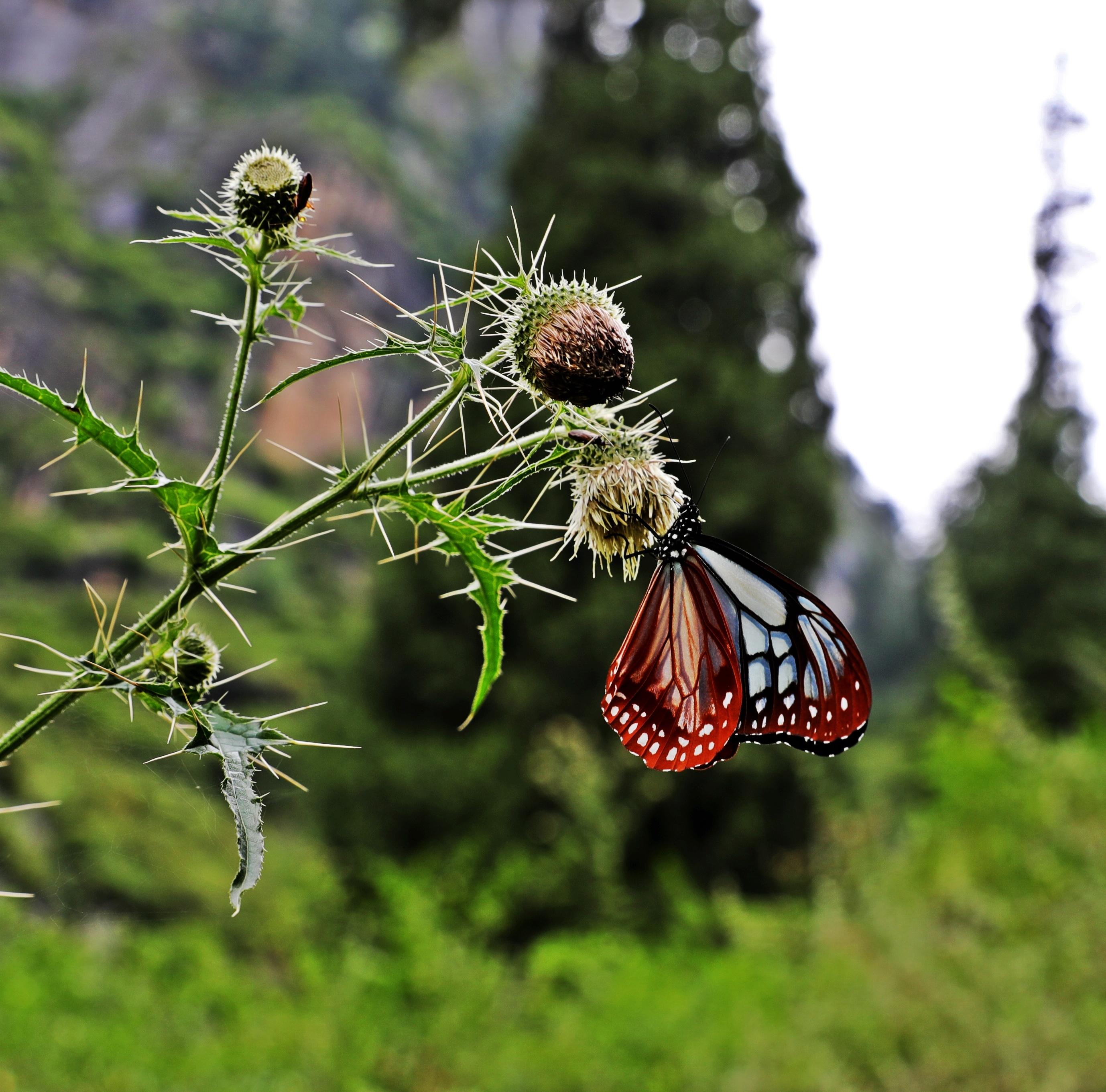 Butterfly, Vashisht