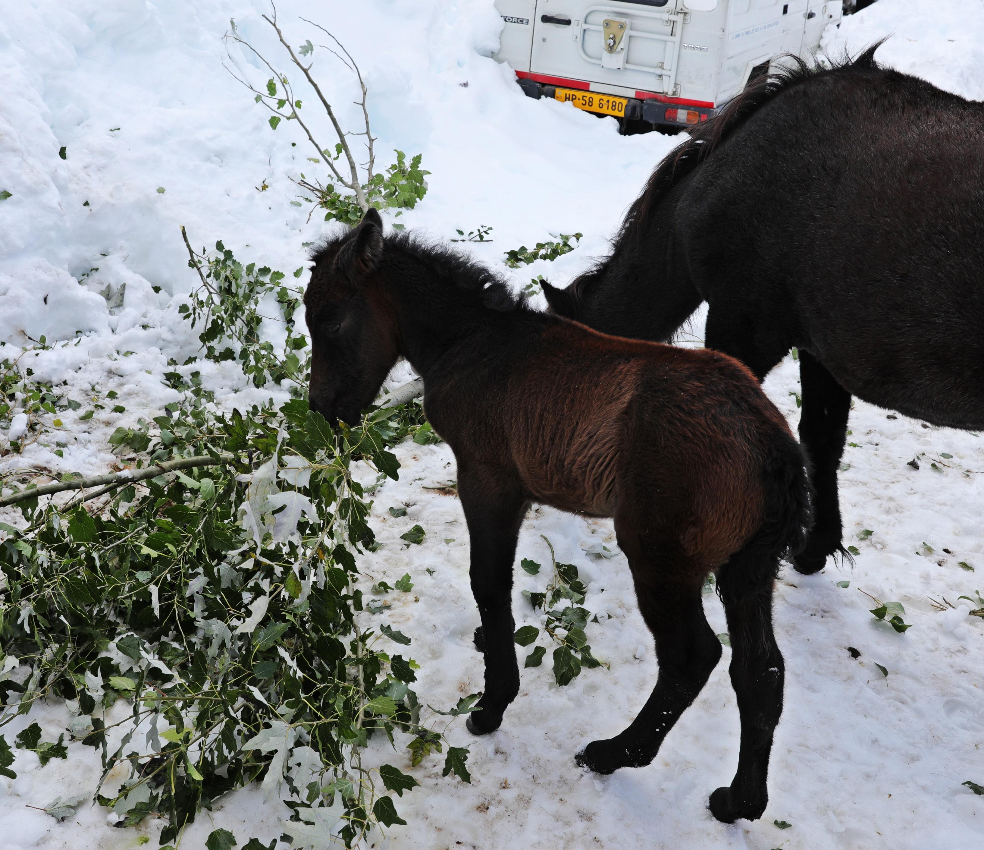 Horses feeding on tree branches