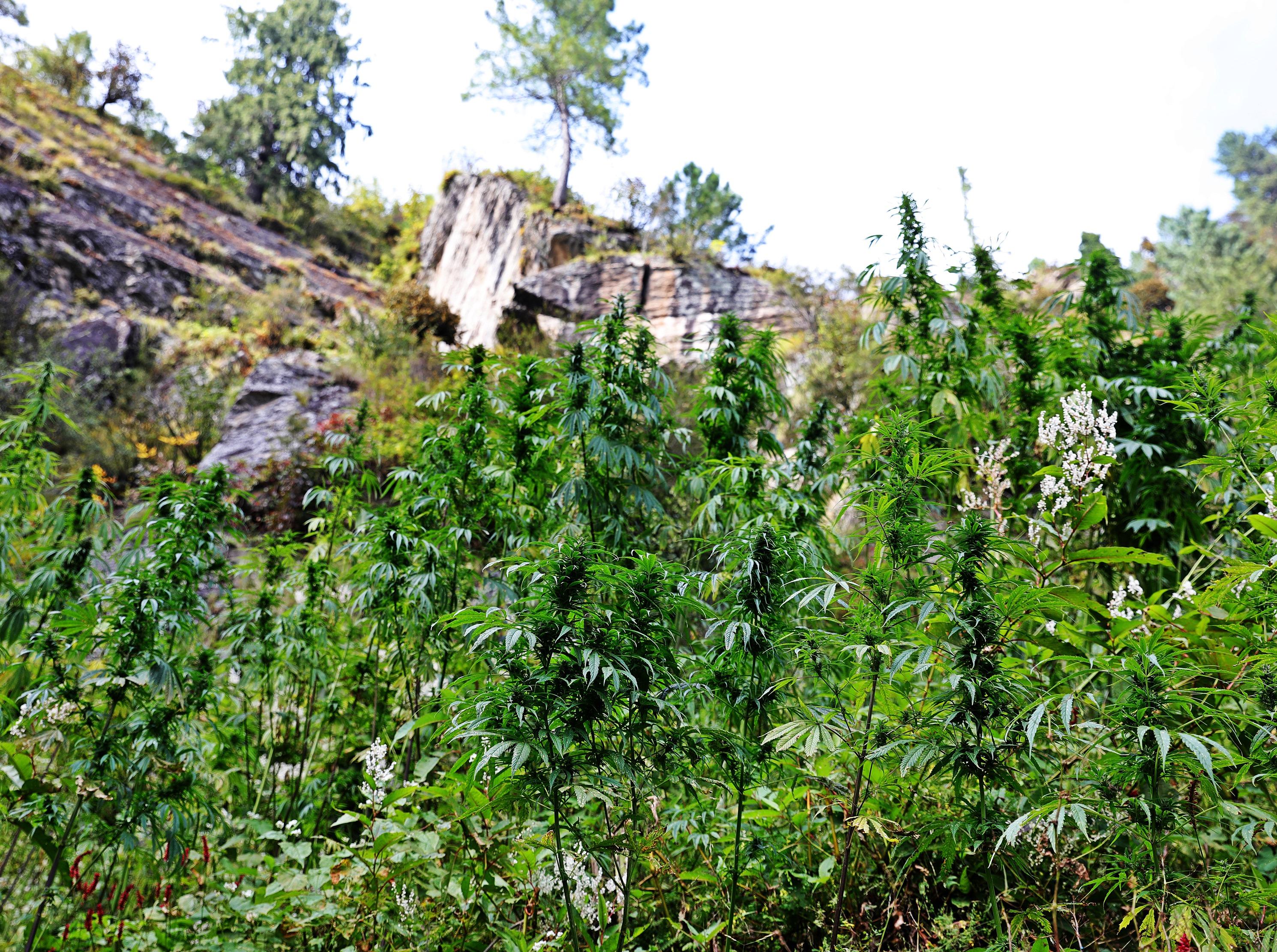 Marijuana plants near Malana, Himachal Pradesh