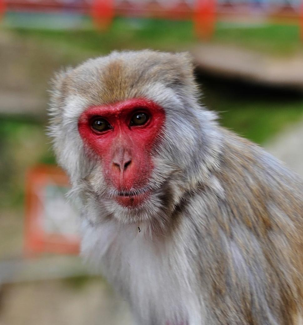 Rhesus Monkey, Shimla