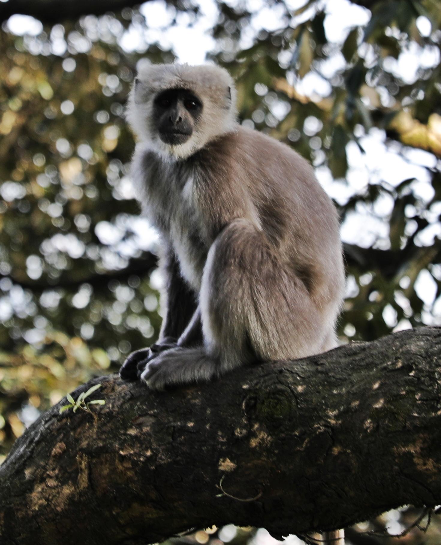 Grey Langur Monkey, Shimla