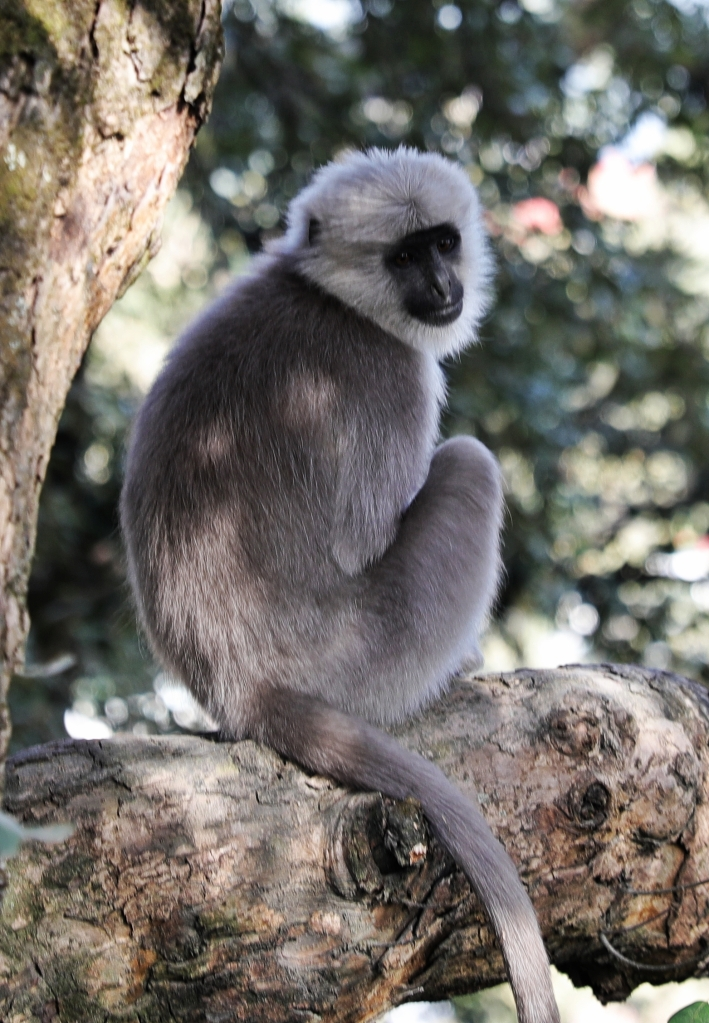 Grey Langur Monkey, Shimla