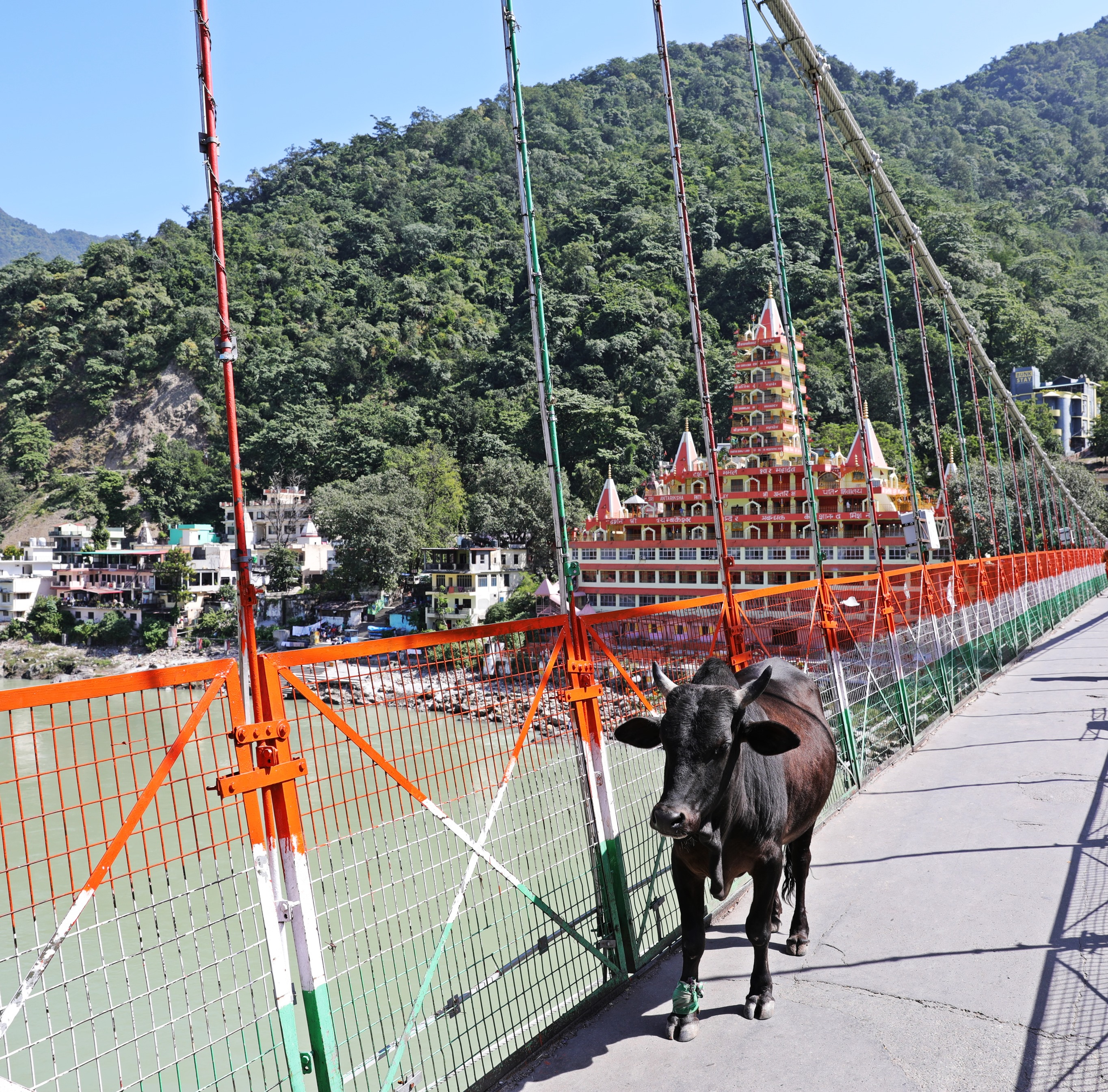 Cow on Lakshman Jhula