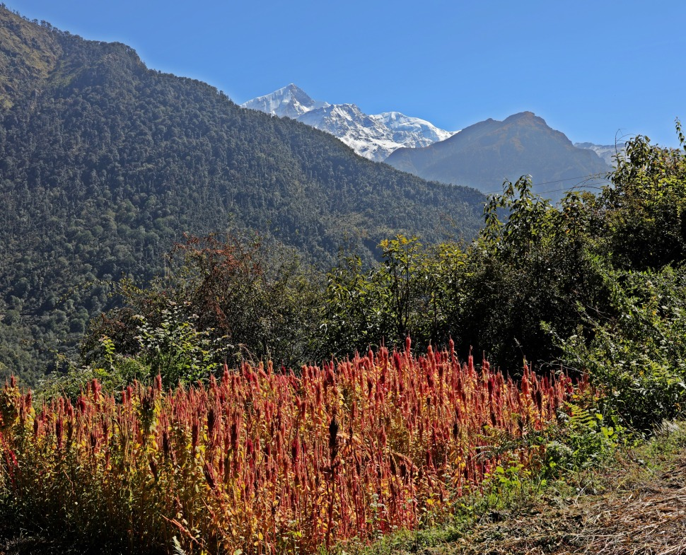 Amaranth fields with the Nanda Devi Range behind