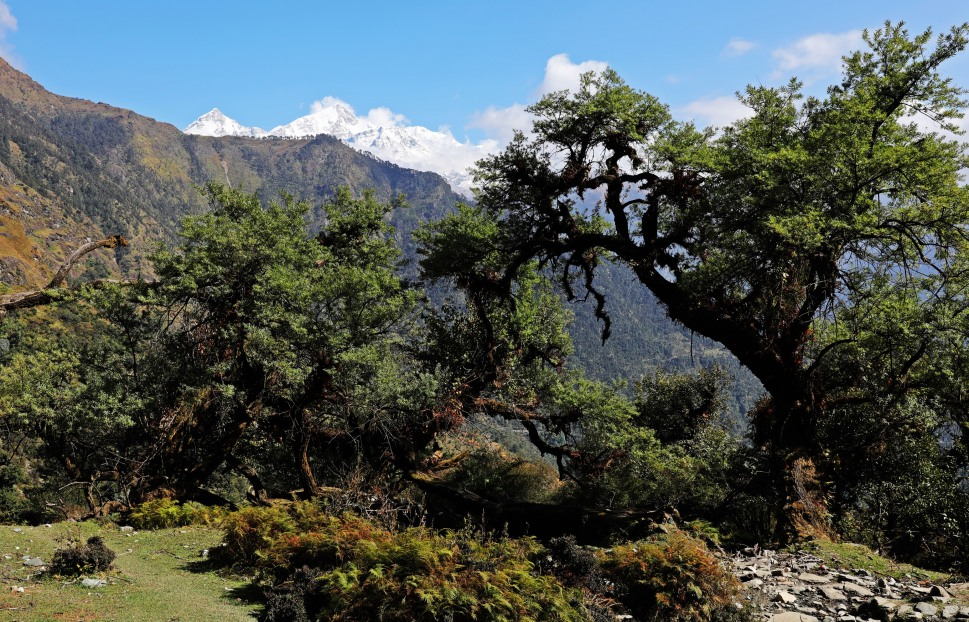 Karshu trees with the Nanda Devi Range behind
