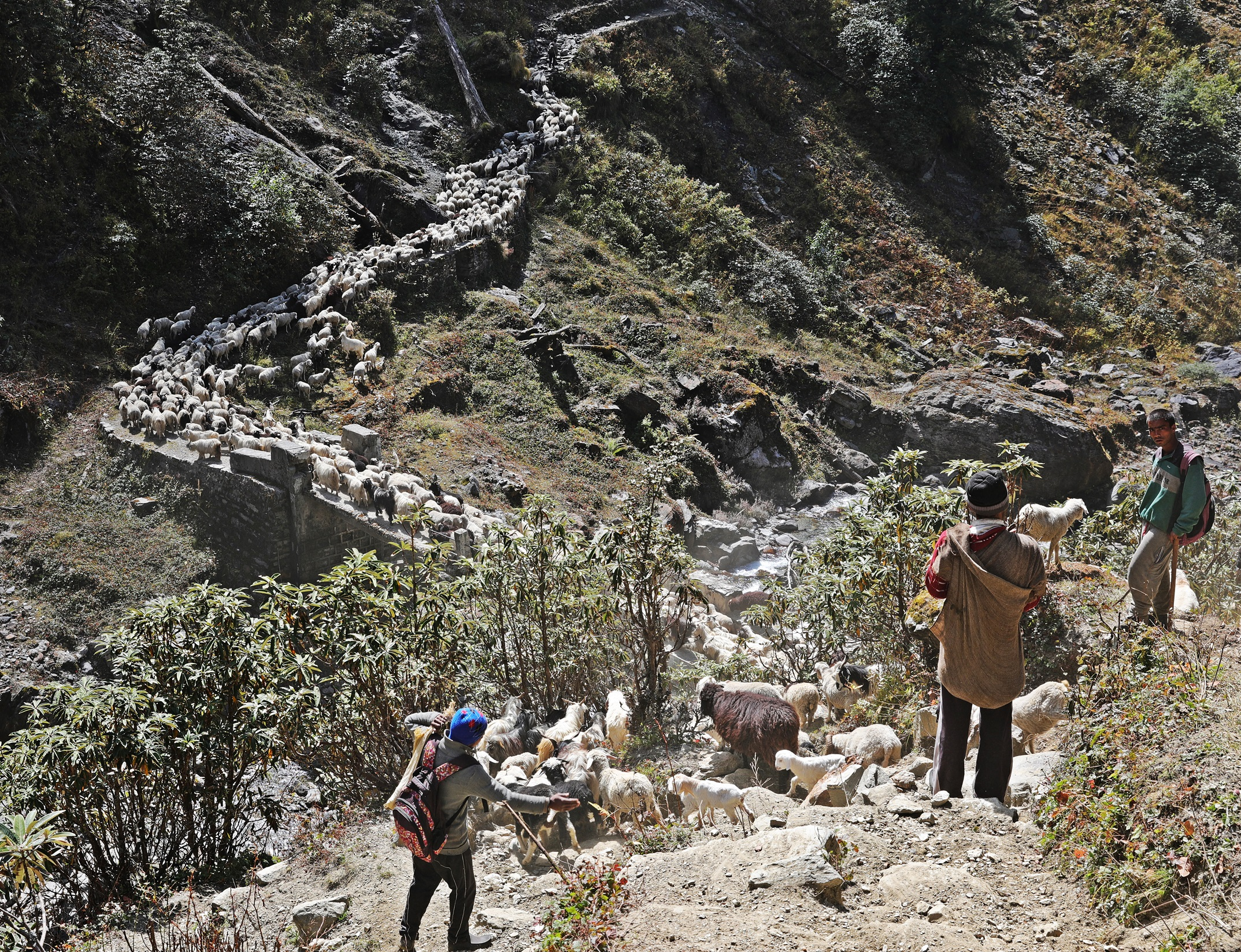 A large flock of sheep  and goats on the trekking trail