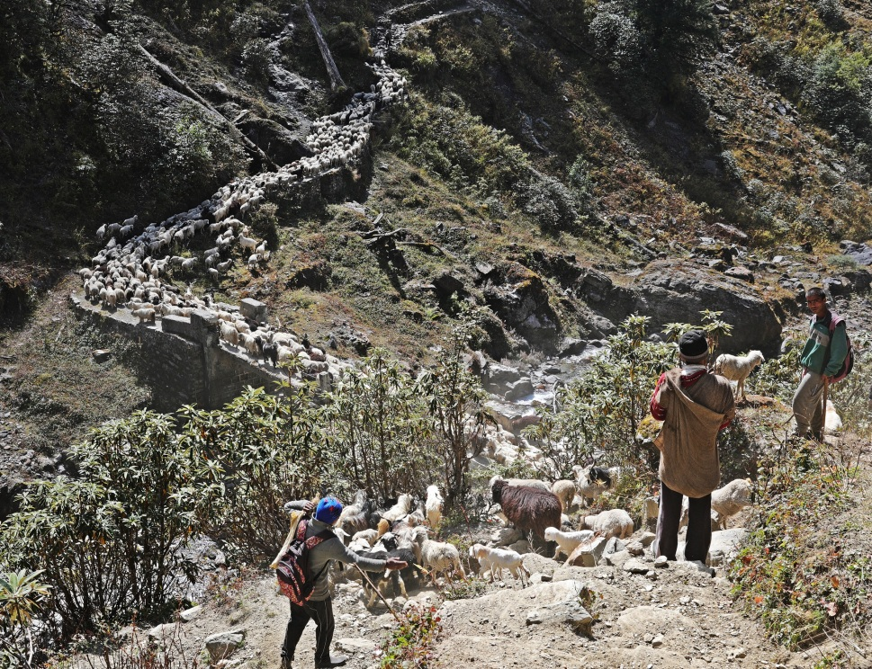 A large flock of sheep on the trekking trail