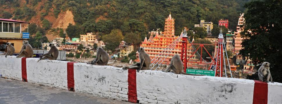Grey Langurs, Rishikesh