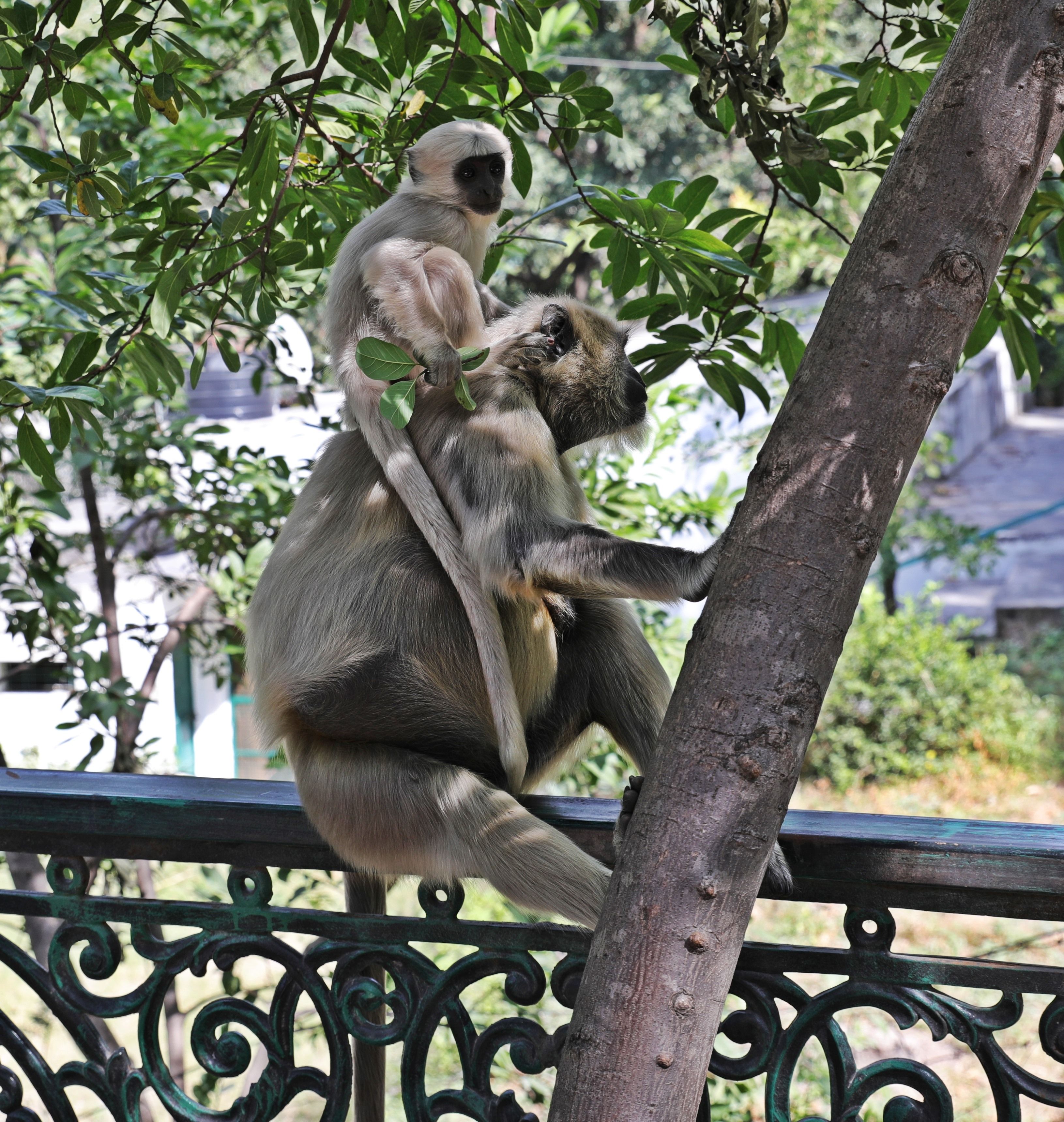 Grey Langur monkeys in Rishikesh