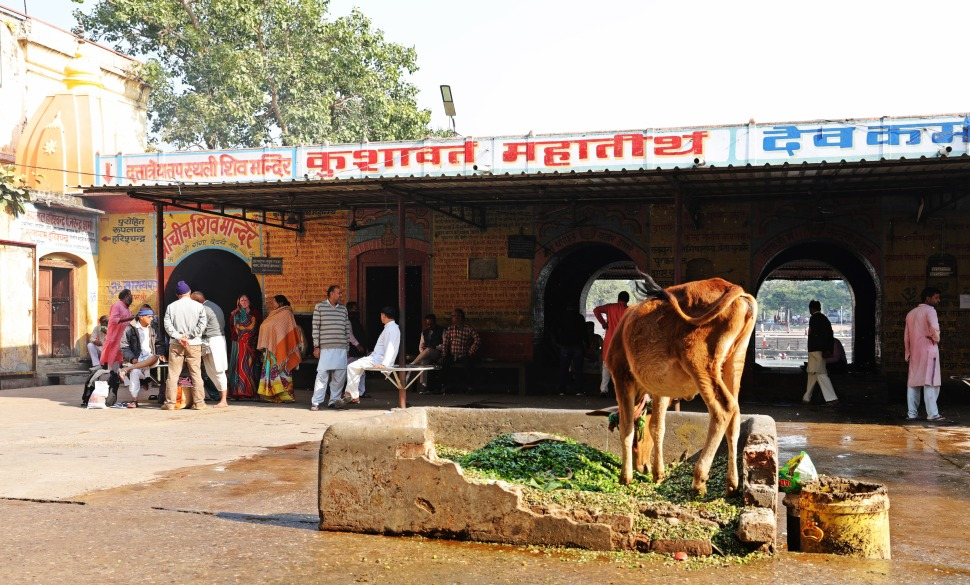 Street cow in Haridwar