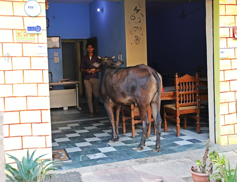 Cow ordering lunch at restaurant