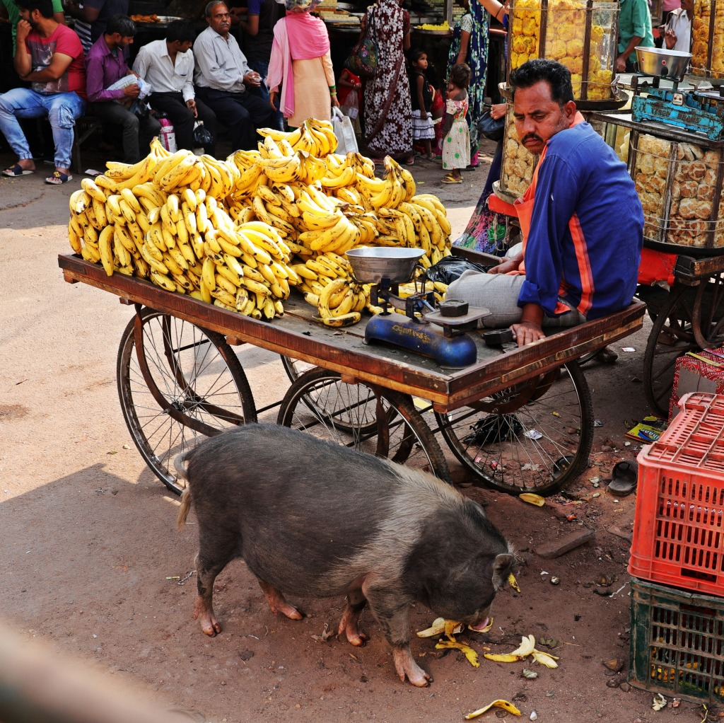 Street pig getting his banana fix, Fatehpur Sikri