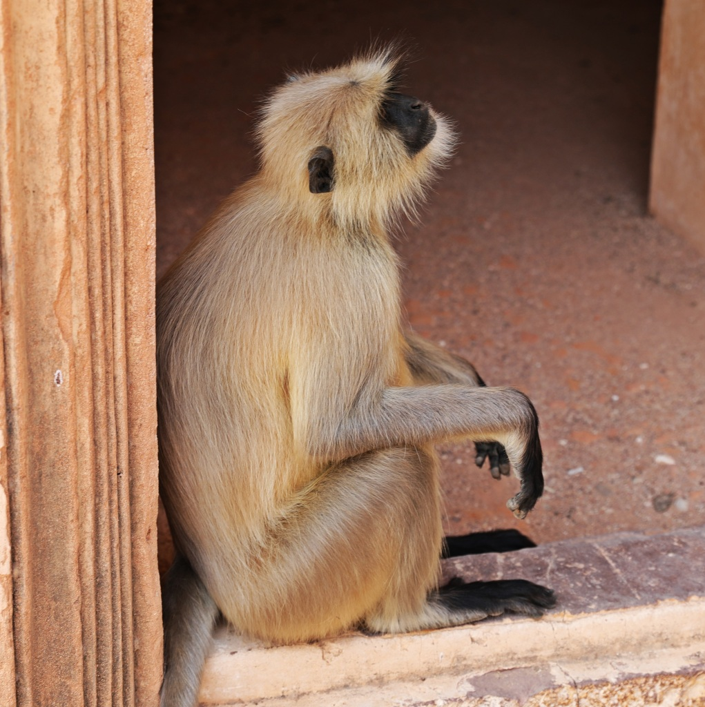 Grey Langur monkey, Orchha
