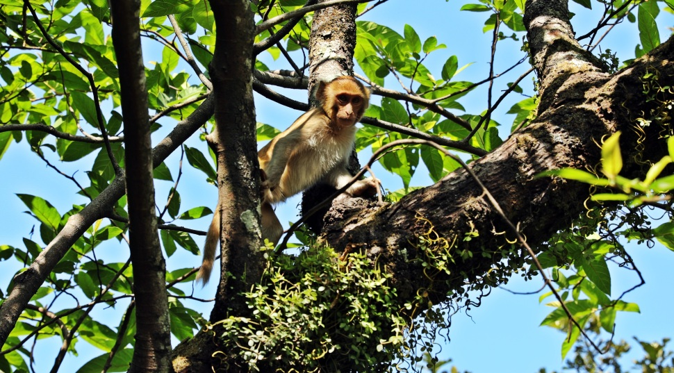 Macaque monkey, Parasnath Hills
