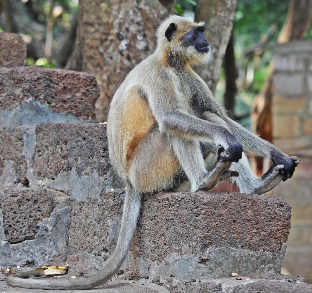 Grey Langur, Bhubaneswar