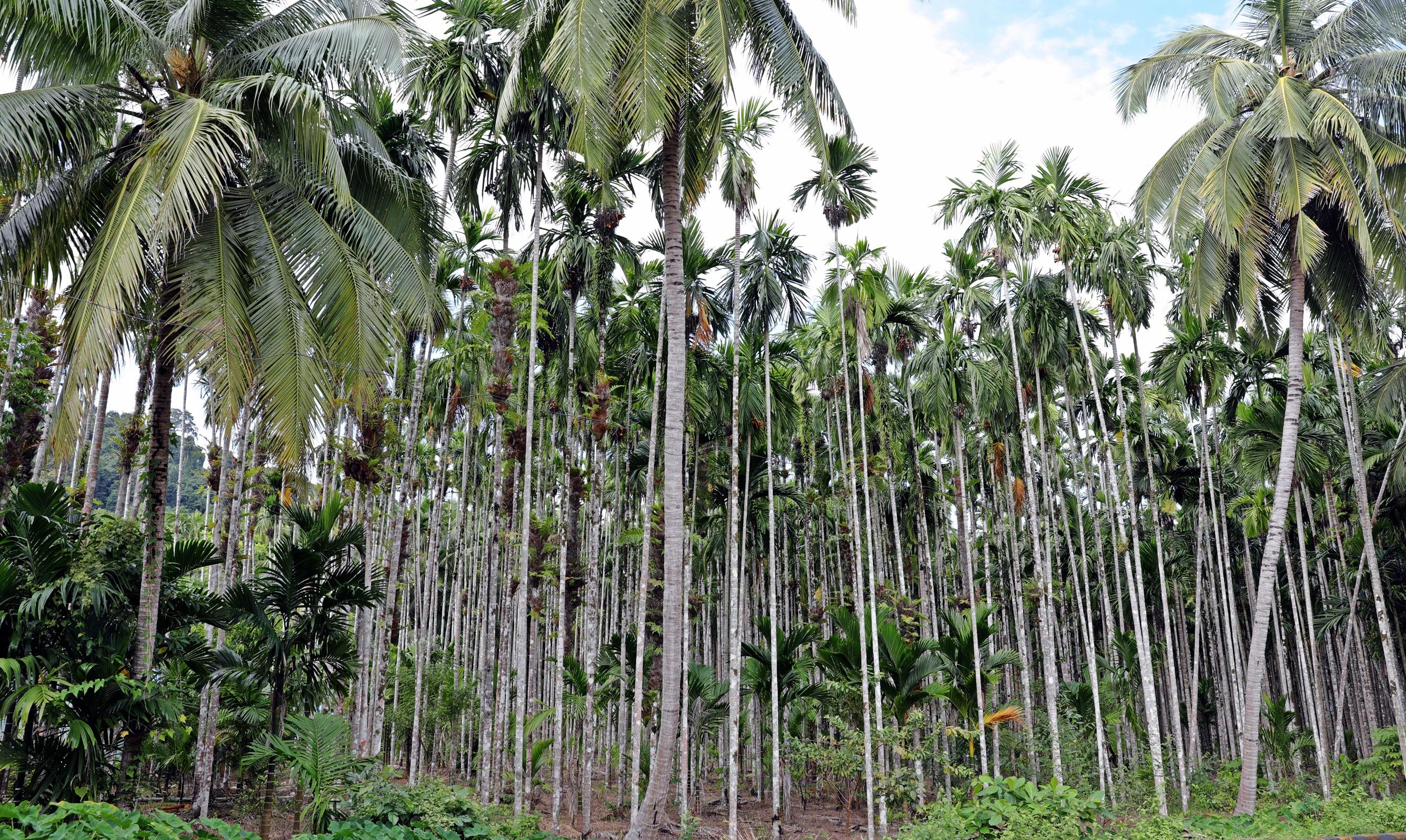 Betel Palm forest, Havelock Island