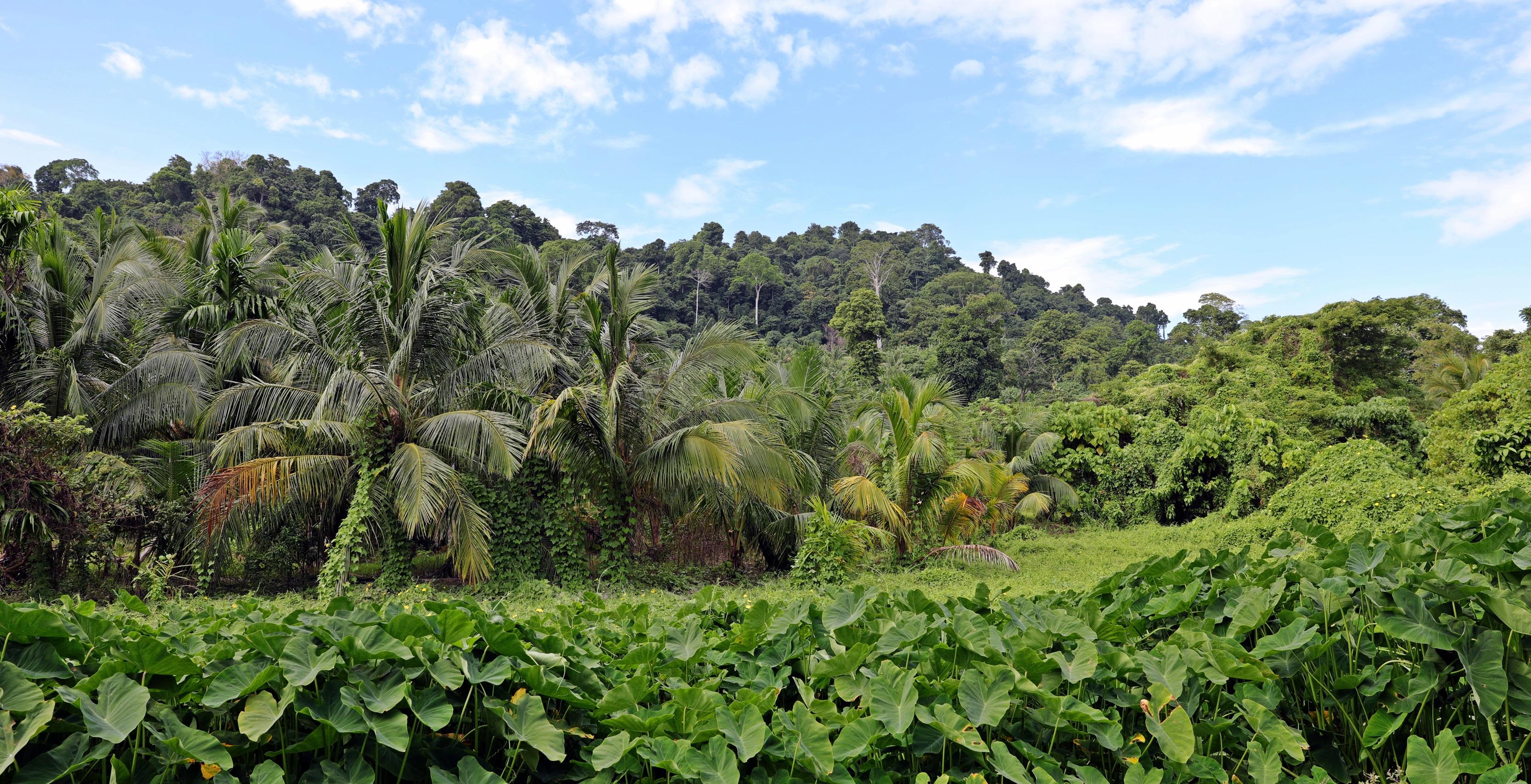 Palm trees, Havelock Island