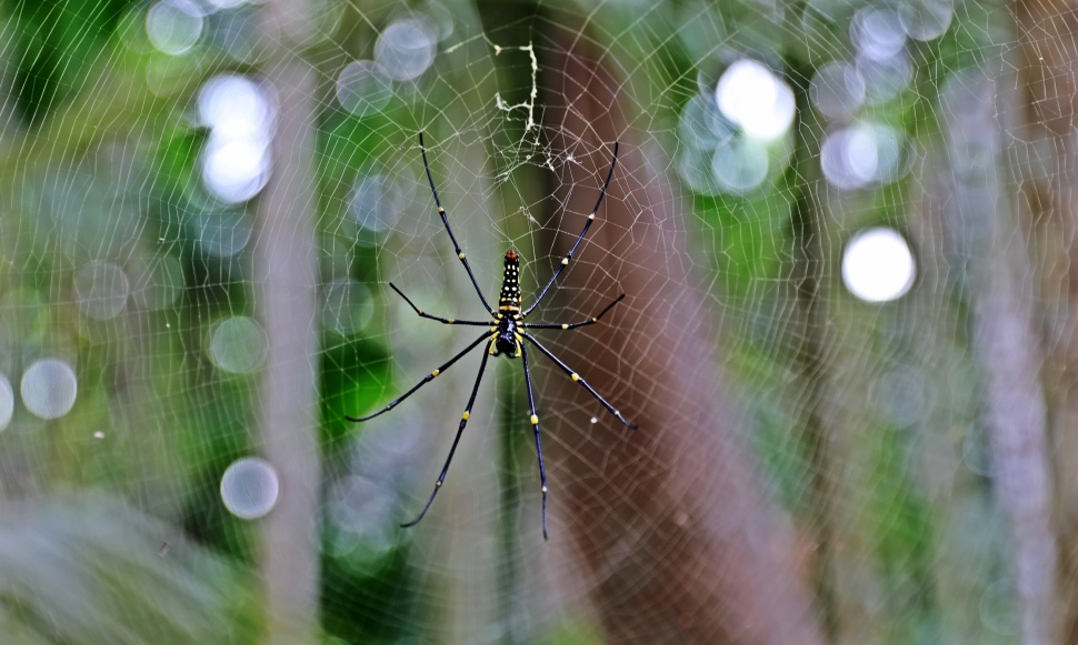 Jungle spider, Havelock Island