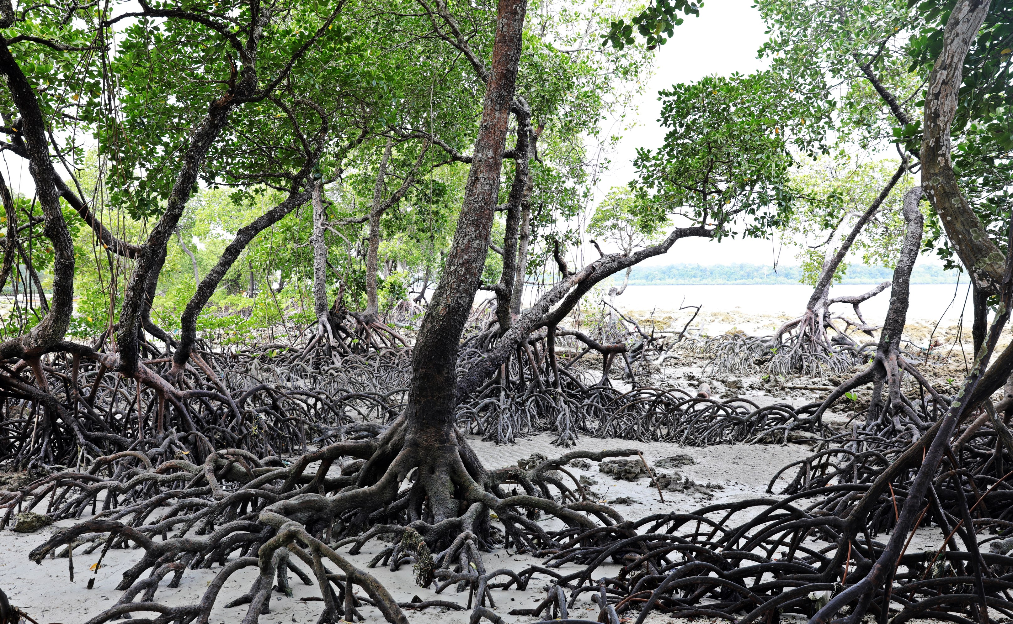 Mangrove forest at low tide