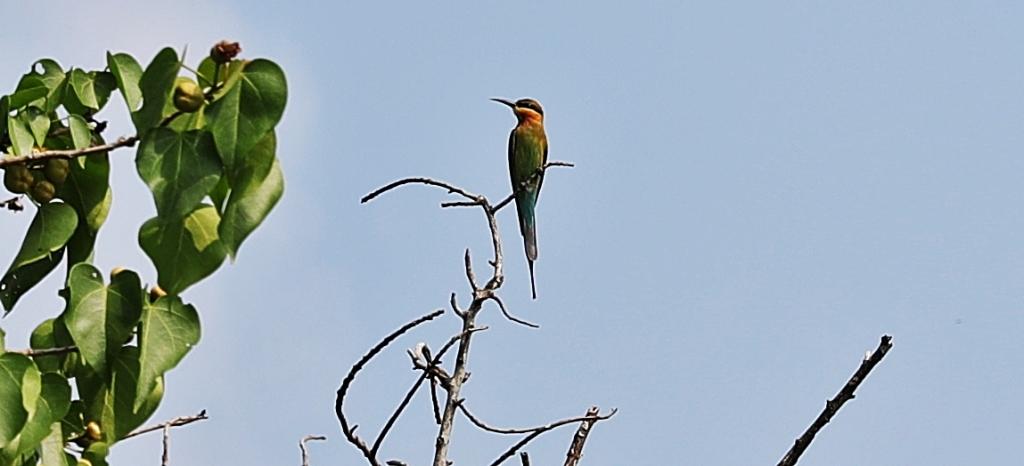 Beecatcher, Bentota River, Sri Lanka