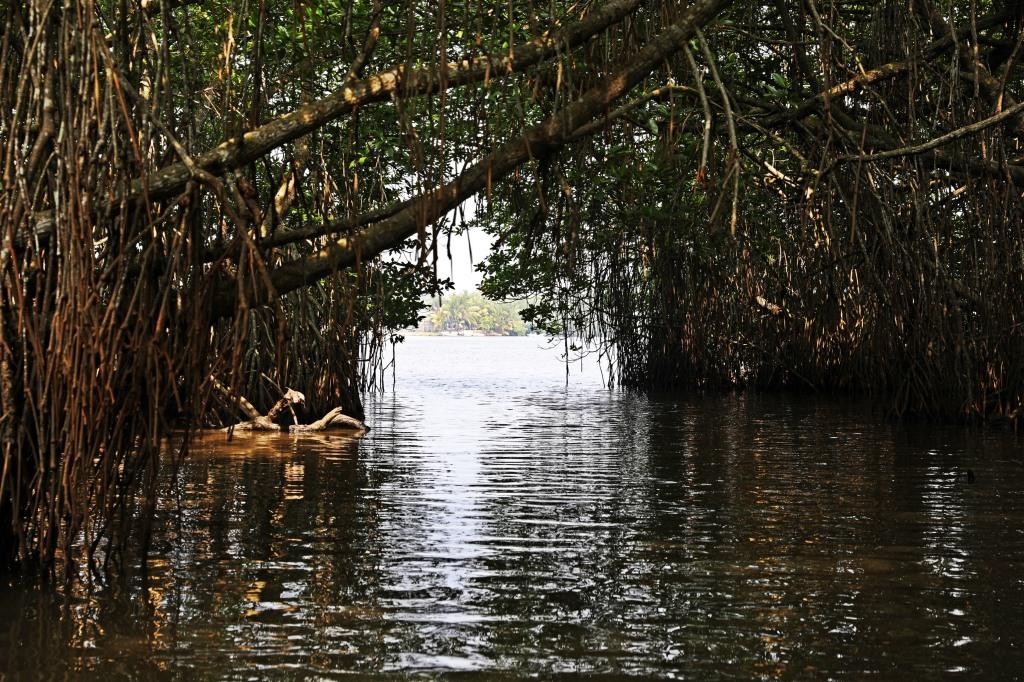 Mangrove forest, Bentota River, Sri Lanka