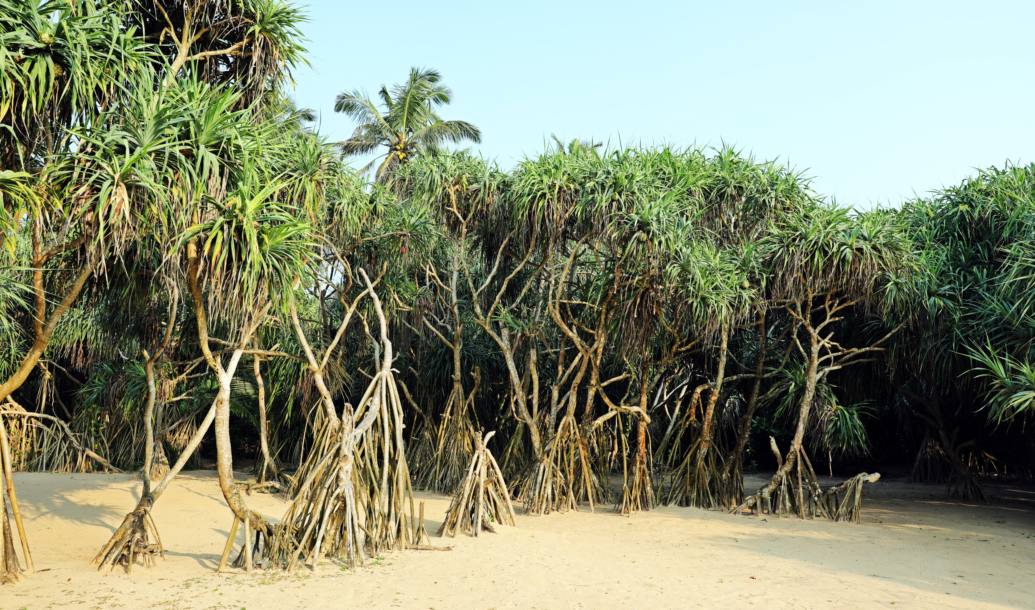 Mangroves, Bentota Beach, Sri Lanka