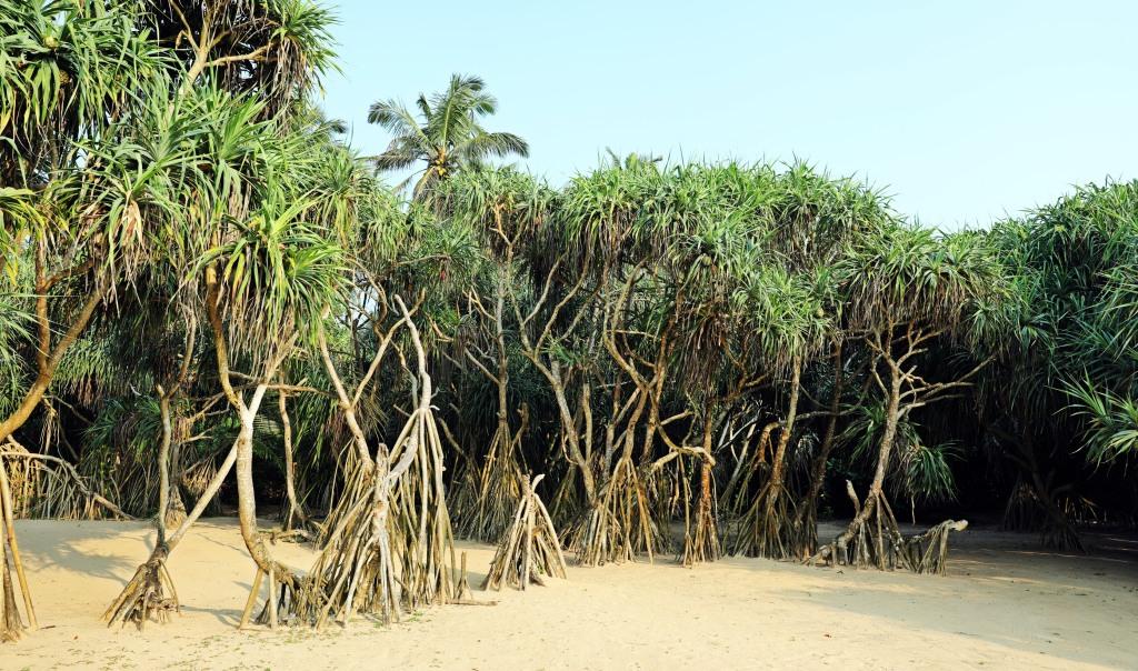 Mangroves, Bentota Beach, Sri Lanka
