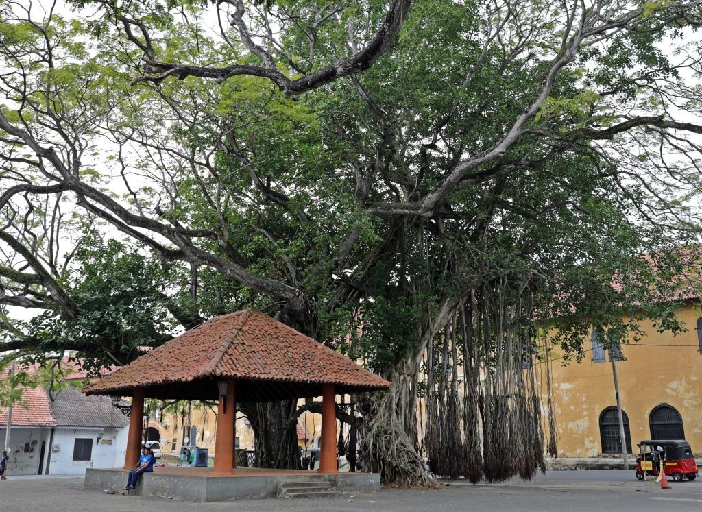 Fig Tree, Galle, Sri Lanka
