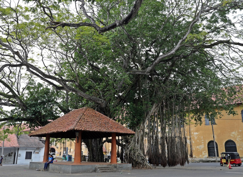 Fig Tree, Galle, Sri Lanka