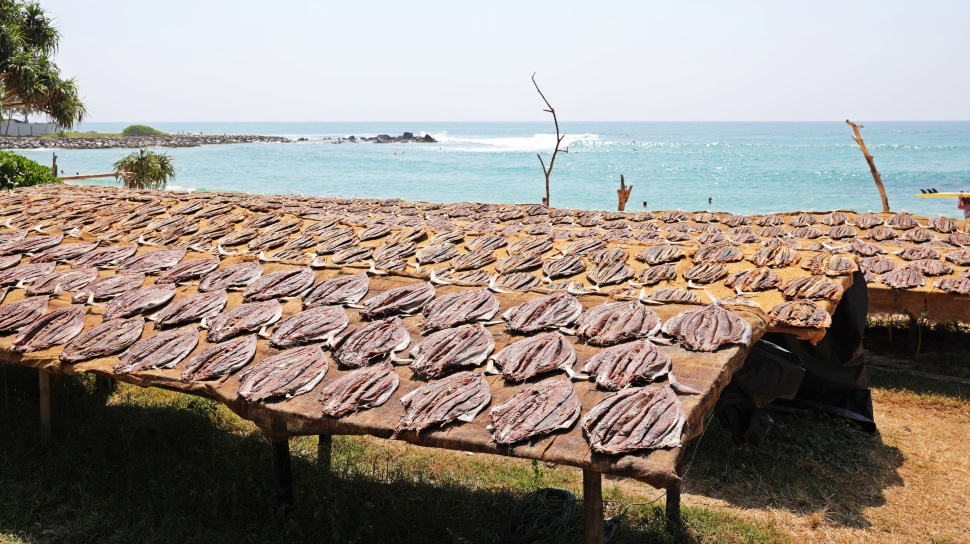 Tuna drying in the sun, Midigama