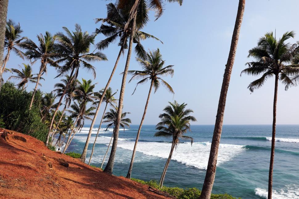 Coconut tree grove Mirissa, Sri Lanka
