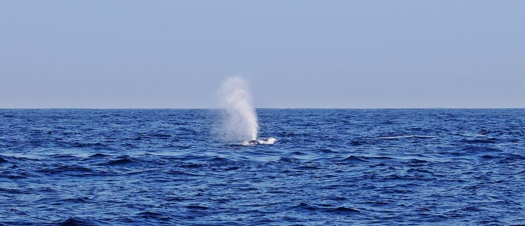 Blue whale's water spout, Mirissa, Sri Lanka