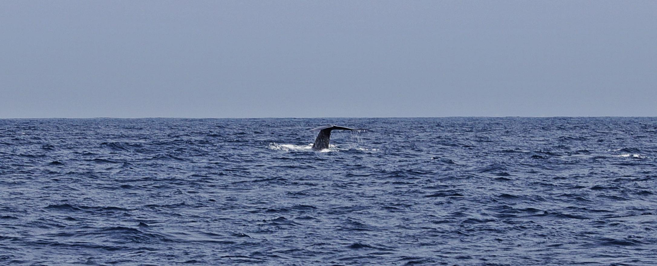 Blue whale's tail, Mirissa, Sri Lanka